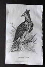 Shaw 1809 Antique Bird Print. Crowned Eagle